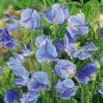 £5 off a spend at marshalls seeds incl delivery! I paid 3p for 2x sweet pea seeds delivered