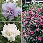 3 Free Hibiscus/1 Free tree peony/6 Free Foxgloves Potentually Free Bulbs, lavendar, +others- just pay postage for each. @ plantoffers