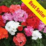 Geranium Parade 30 Medium Plugs +15 Free - £9.99 Free P&P - 12% Quidco - @ Gardening Direct