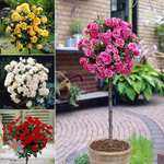 4 Patio Roses Was £49.99 Now £26.98 Delivered @ YouGarden