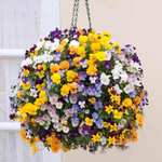 pre-planted viola basket for £6.99 delivered @ van meuwen