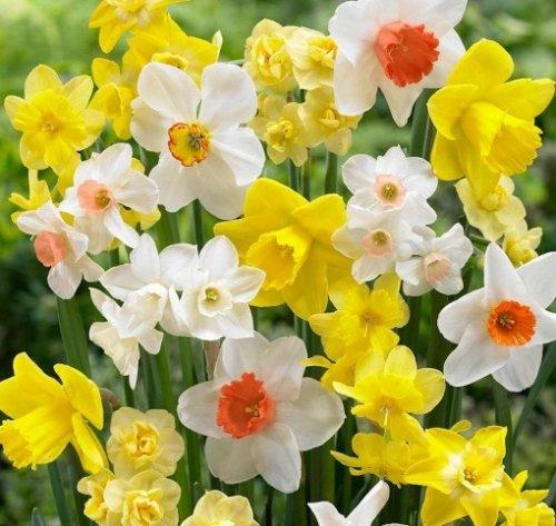 Free Daffodil bulbs, help save at risk historic varieties - English Heritage - Free