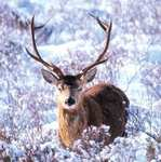 10 Proud Stag Christmas Cards £ 1.99 @ RSPB Shop - Free delivery code for £20 shop, more inside