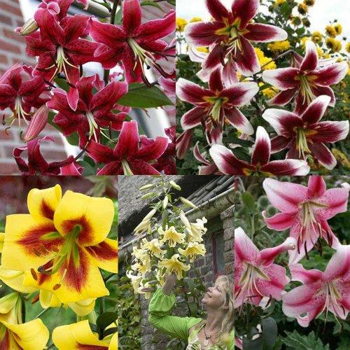 15 Giant Goliath OT Lilies £14.97 @ jparkers.co.uk +3.99 P&P